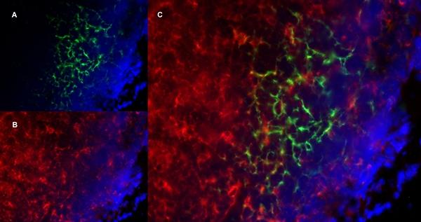 CD8 Alpha Antibody | YTS105.18 gallery image 14