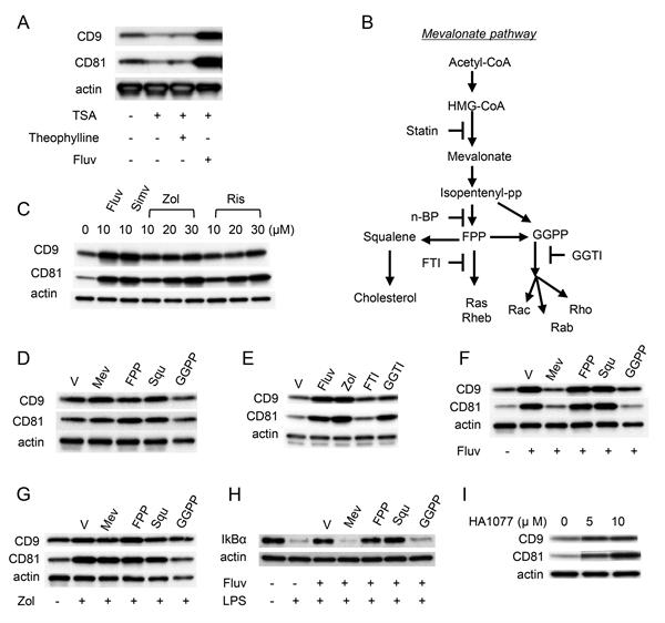 CD81 Antibody | Eat2 gallery image 8