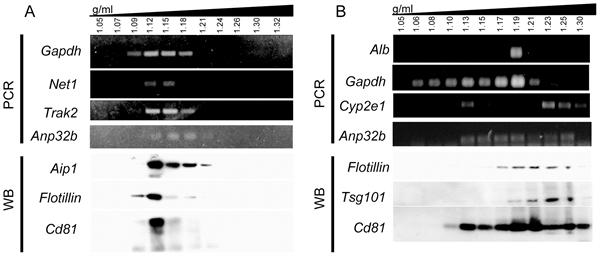 CD81 Antibody | Eat2 gallery image 9