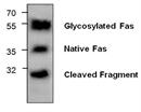CD95 / Fas Antibody thumbnail image 1
