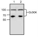 Clock Antibody thumbnail image 1