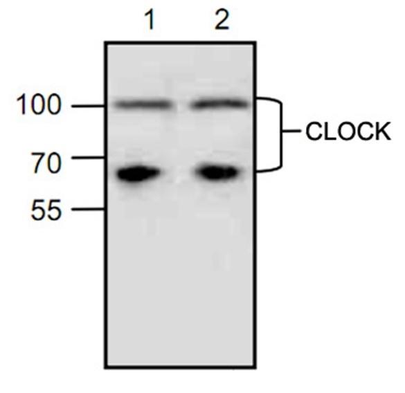 Clock Antibody gallery image 1
