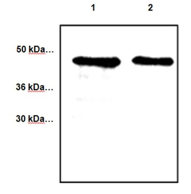 CYR61 Antibody gallery image 1