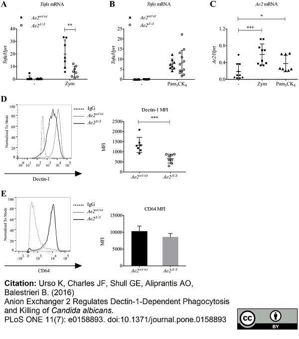Dectin-1 Antibody | 2A11 thumbnail image 12