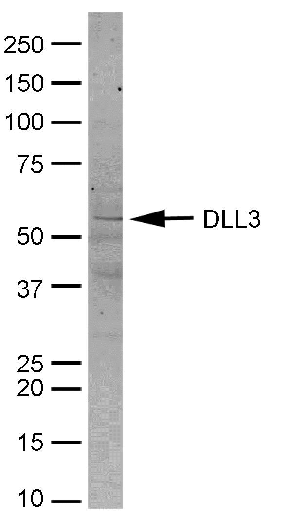 Delta-Like Protein 3 Antibody gallery image 1
