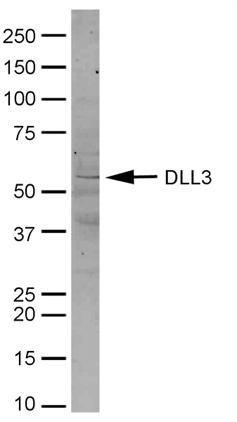 Delta-Like Protein 3 Antibody gallery image 1