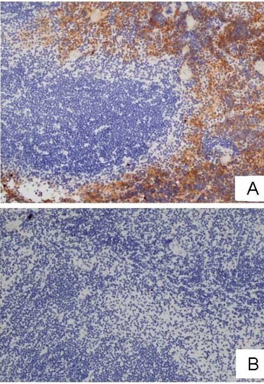 F4/80 Antibody | Cl:A3-1 gallery image 5