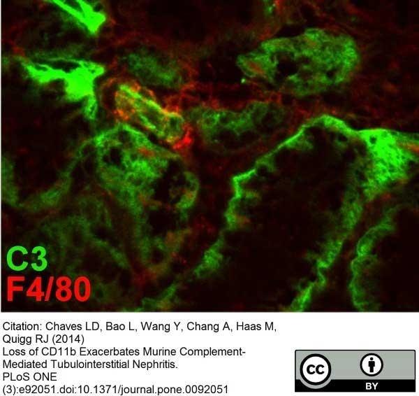F4/80 Antibody | Cl:A3-1 gallery image 8
