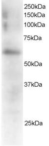 FGR Antibody gallery image 1