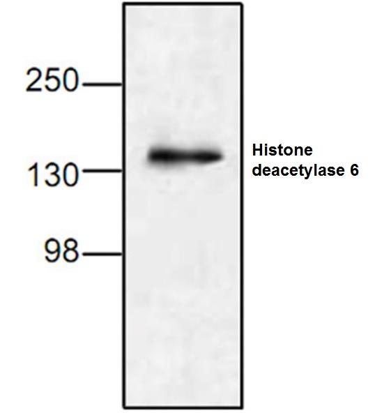 Histone Deacetylase 6 Antibody gallery image 1