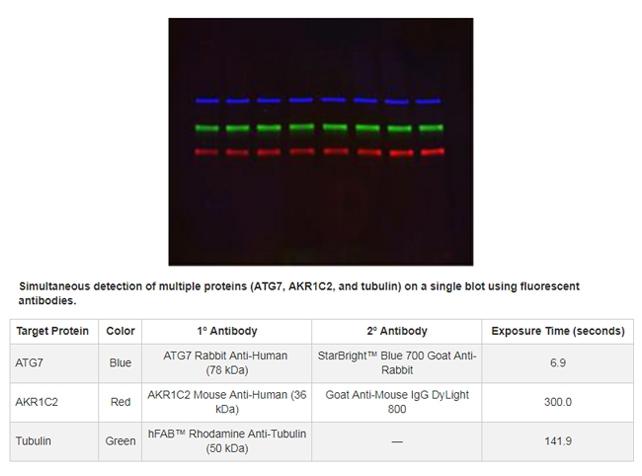 IgG Antibody gallery image 4
