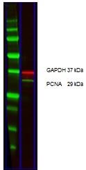 IgG Antibody gallery image 14