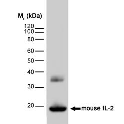 IL-2 Antibody | JES6-1A12 gallery image 1