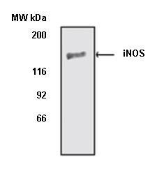 iNOS Antibody thumbnail image 1