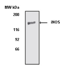 iNOS Antibody gallery image 1