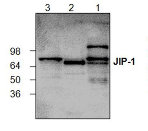 JIP1 Antibody gallery image 1