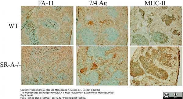 Ly-6B.2 Alloantigen Antibody   7/4 gallery image 34