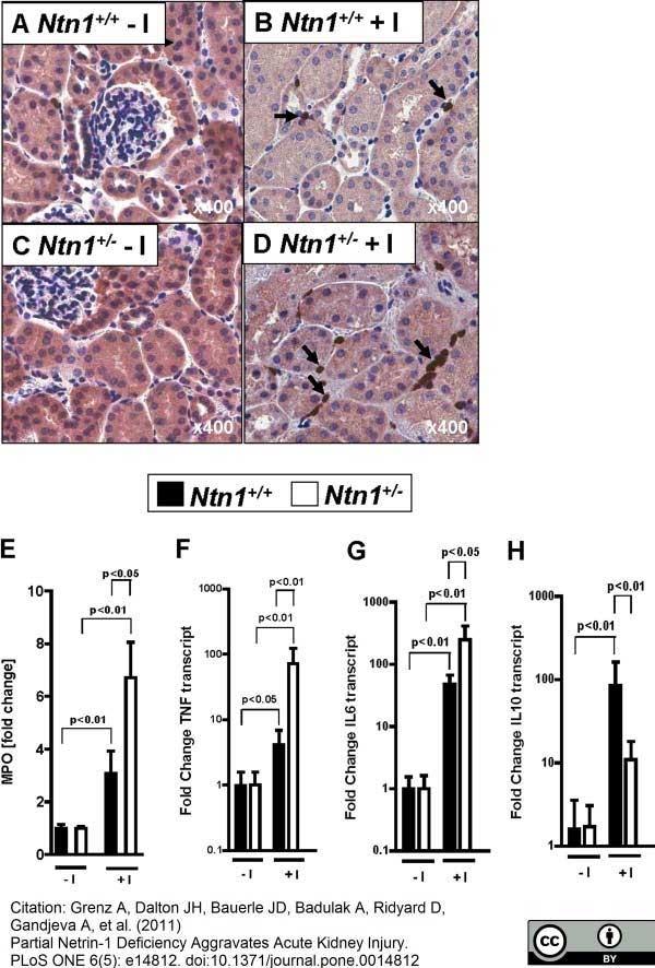 Ly-6B.2 Alloantigen Antibody | 7/4 gallery image 26