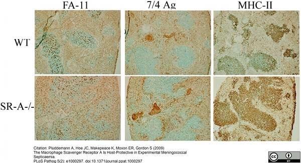 Ly-6B.2 Alloantigen Antibody | 7/4 gallery image 20