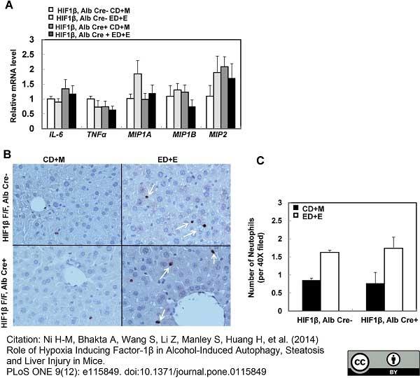 Ly-6B.2 Alloantigen Antibody | 7/4 gallery image 36