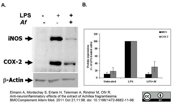NOS-II Antibody gallery image 1