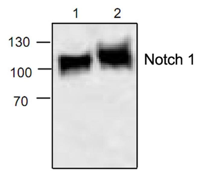 Notch 1 Antibody gallery image 1