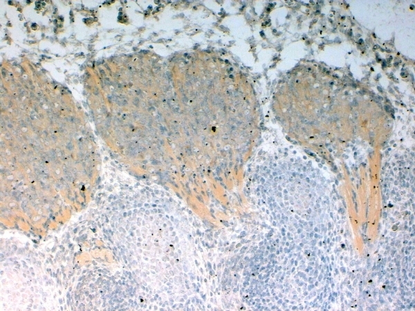 Numbl Antibody gallery image 2