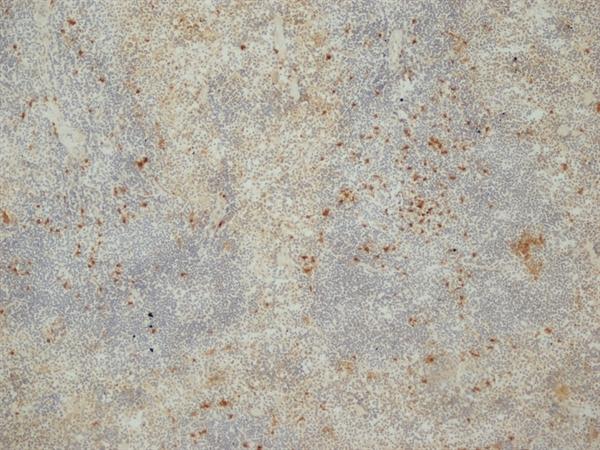 Siglec-H Antibody | 440c gallery image 1
