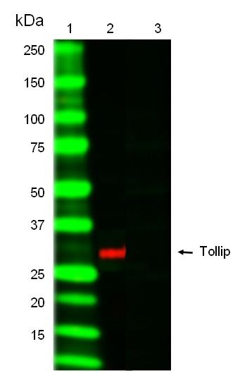 TOLLIP Antibody | Kimmy-1 gallery image 1
