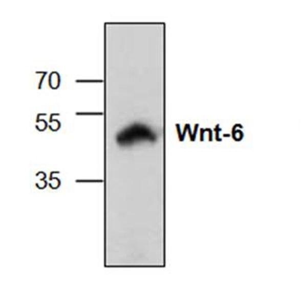WNT-6 Antibody gallery image 1