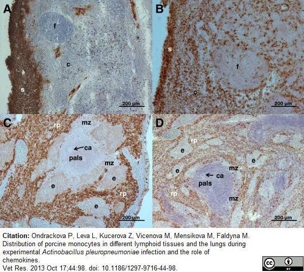 CD163 Antibody   2A10/11 gallery image 6