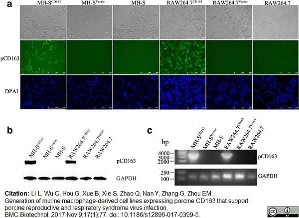 CD163 Antibody   2A10/11 gallery image 2