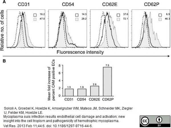 CD31 Antibody   LCI-4 gallery image 4