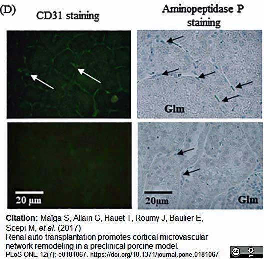 CD31 Antibody   LCI-4 gallery image 8