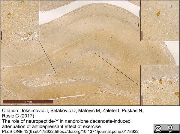 Neuropeptide Y Antibody gallery image 1