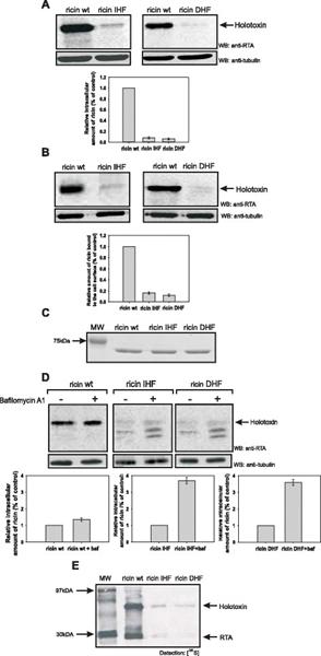 Ricin Antibody | RA999 gallery image 1