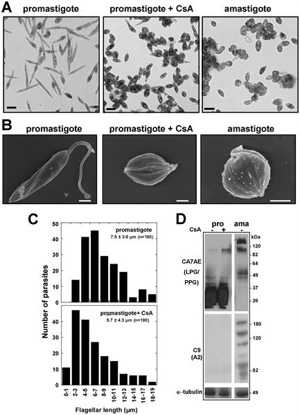Leishmania LPG Antibody | CA7AE gallery image 5