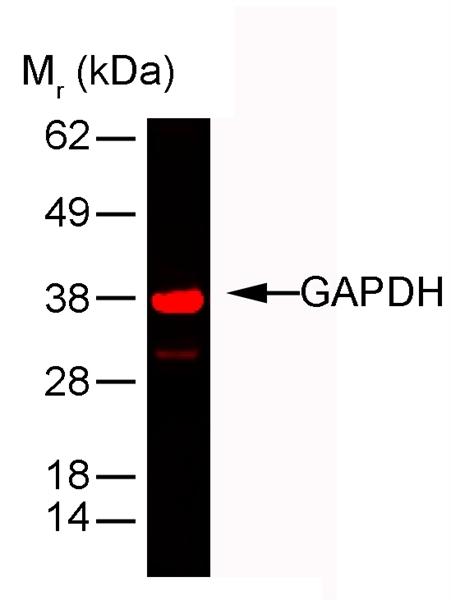 GAPDH Antibody | 6C5 gallery image 2