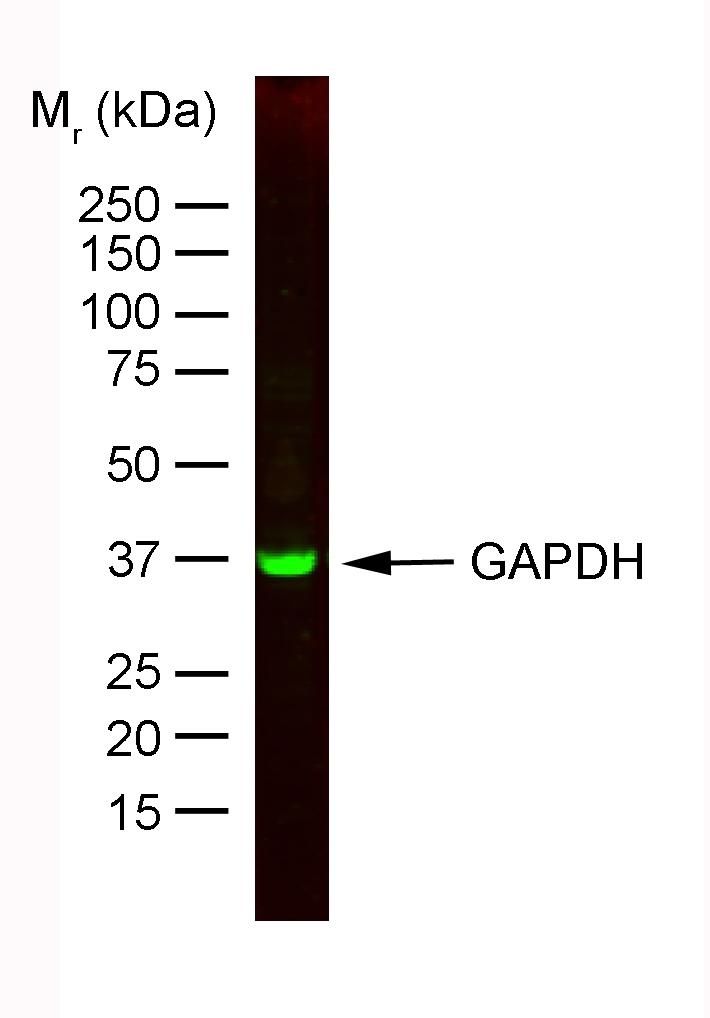 GAPDH Antibody | 6C5 gallery image 1