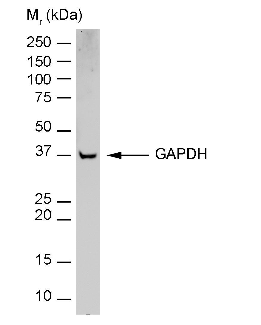 GAPDH Antibody | 6C5 gallery image 3