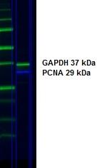 IgG Antibody gallery image 3