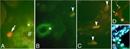 Thymocytes/Neutrophils/T Cells/Platelets Antibody | RPN3/57 thumbnail image 2