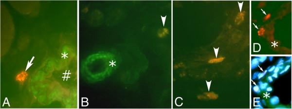 Thymocytes/Neutrophils/T Cells/Platelets Antibody | RPN3/57 gallery image 2