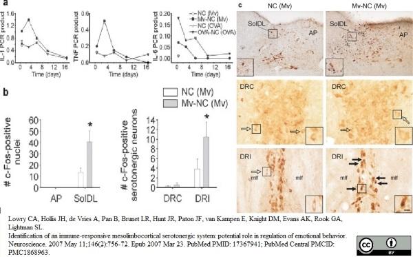 Tryptophan Hydroxylase Antibody gallery image 7