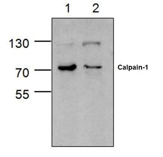 CALPAIN-1 Antibody gallery image 1