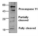 CASPASE-11 Antibody thumbnail image 1