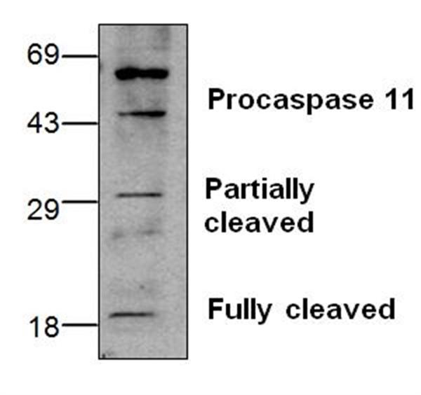 CASPASE-11 Antibody gallery image 1