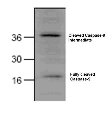 Caspase-9 (Active) Antibody gallery image 1