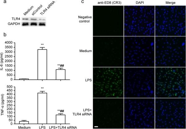 CD11b Antibody | ED8 gallery image 7