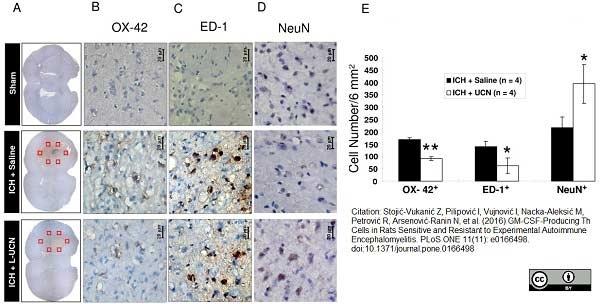 CD11b Antibody | OX-42 gallery image 9